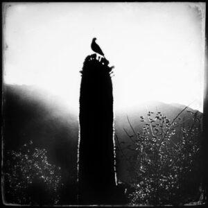 saguaro cactus, bird