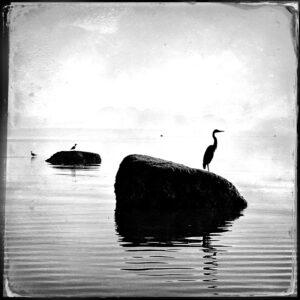 heron, rock