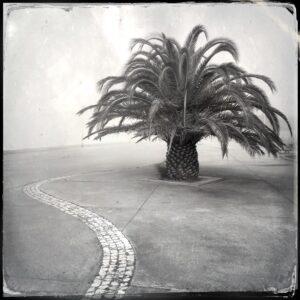 palm tree, fog