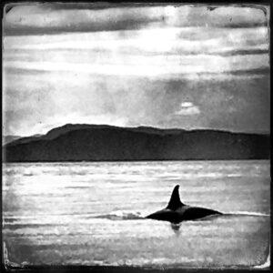 orca whale, washington state